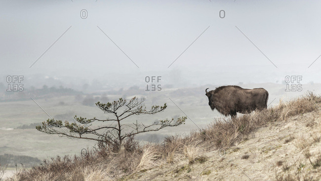 A European bison alone on a hill looking into the distance