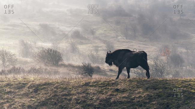 European bison walking in a misty field