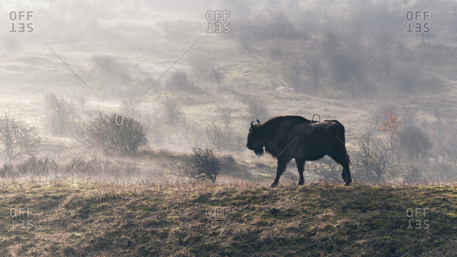 European bison walking in a misty field