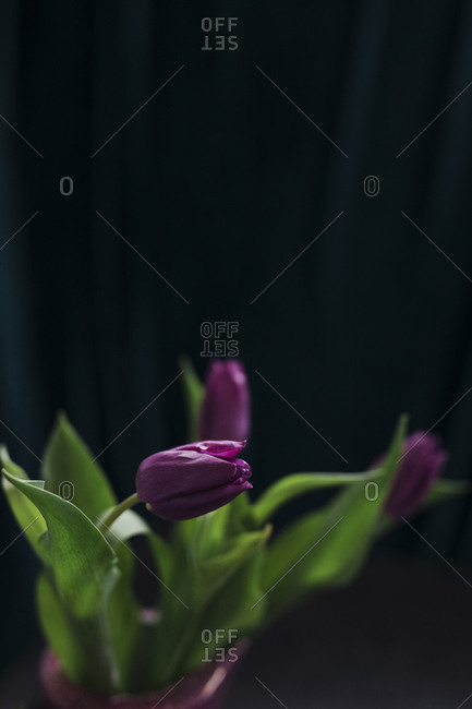 Purple flower in pot on black background