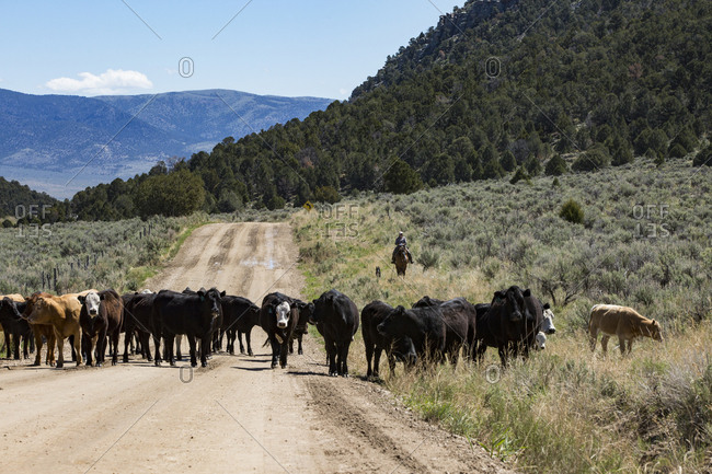 Malta, Idaho - May 2018:  A rancher moves her cattle into the City of Rock National Reserve for their summer pastures.