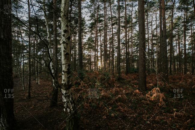 Landscape of fir tree forest at sunset