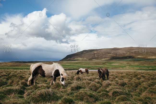 Three Icelandic horses grazing in the countryside