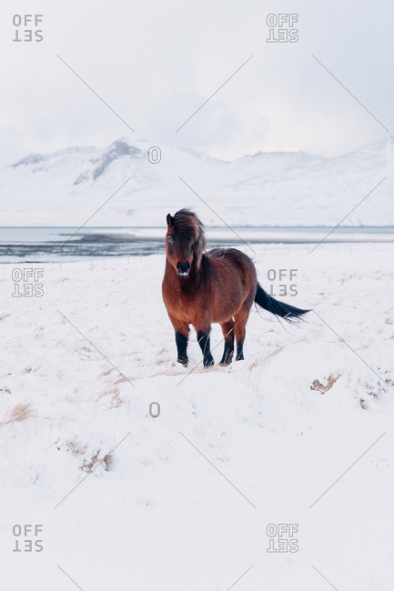 Brown horse in Iceland