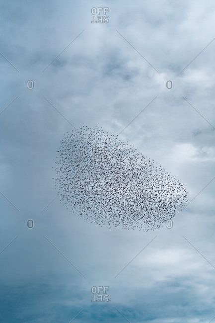Flock of birds in overcast sky