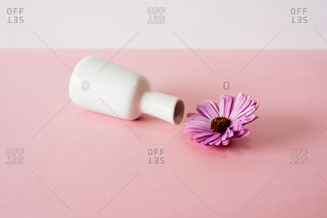 Tipped over violet daisy flowers in a pink and white background