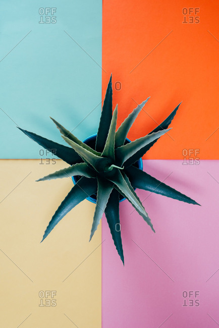 Top view of a aloe vera plant in a multicolor background