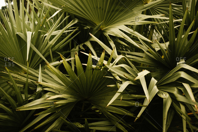 Closeup big verdant fresh exotic foliage growing in tropical forest