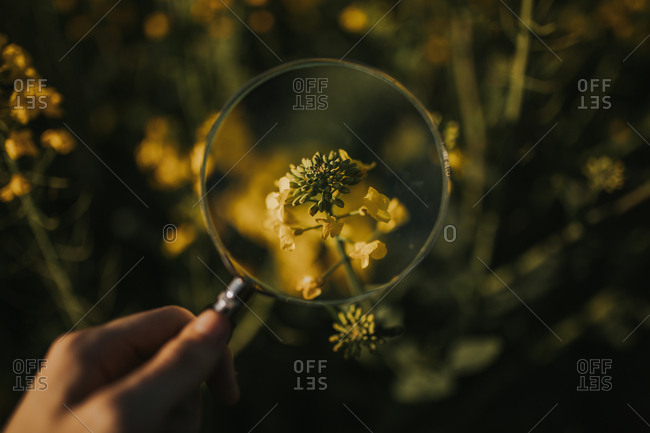 Hand of anonymous person holding magnifying glass over small yellow flower in wonderful meadow