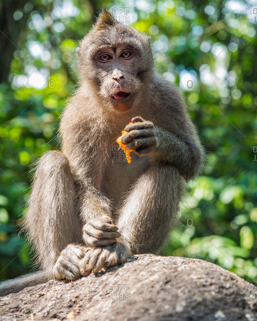 Bali, Indonesia - August, 15 2015: Cute monkey eating fresh fruit while sitting on boulder on sunny day on blurred background of jungle