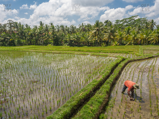 Bali, Indonesia - August, 15 2015: Unrecognizable person in hat planting rice on wet field on sunny day in countryside
