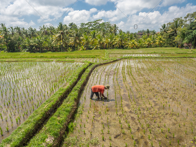 Bali, Indonesia - August, 15 2015: Anonymous peasant planting rice