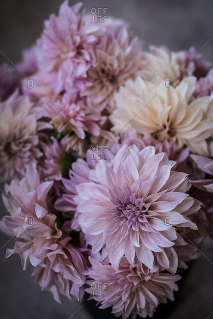 Closeup bunch of beautiful fresh pink chrysanthemums on blurred background