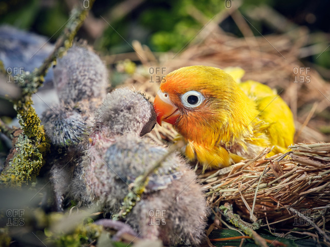 Bright lovebird with tiny gray chicks sitting in straw nest in grass