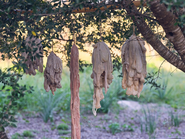 Bunch of raw animal bowels hanging near shrub and drying on sunny day in countryside