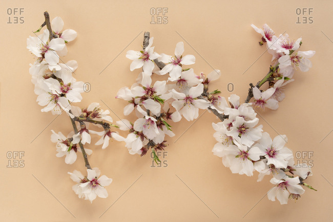 Flat lay arrangement of Almond tree flowers on pastel peach background