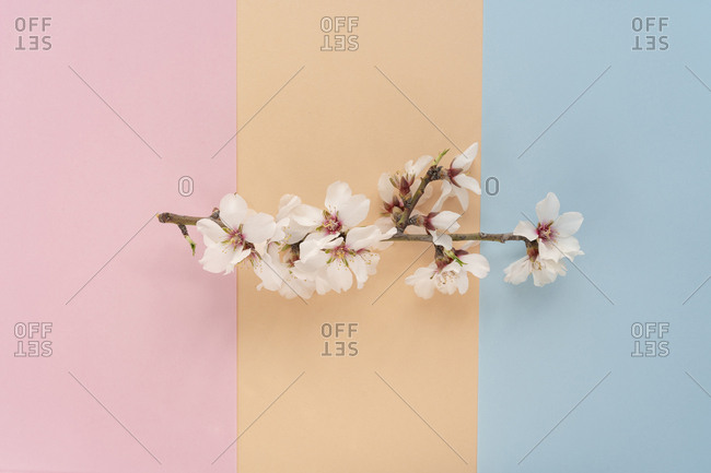 Flat lay arrangement of Almond tree flowers on colorful background