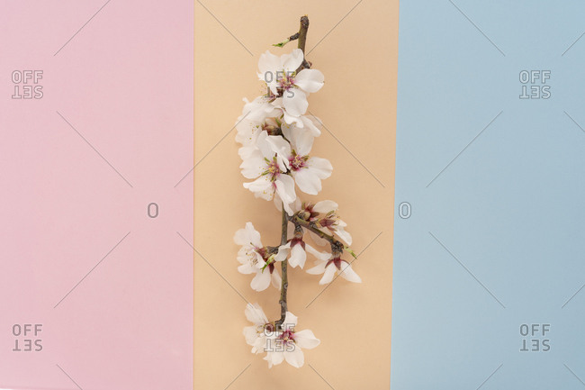 Overhead view of flat lay arrangement of Almond tree flowers on colorful background