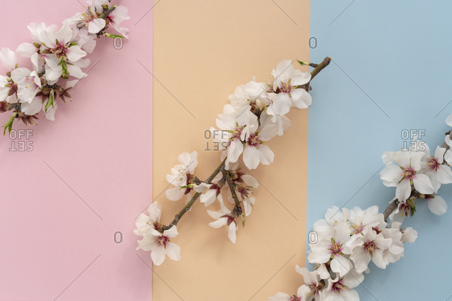 Row of almond tree flowers on a color blocked background