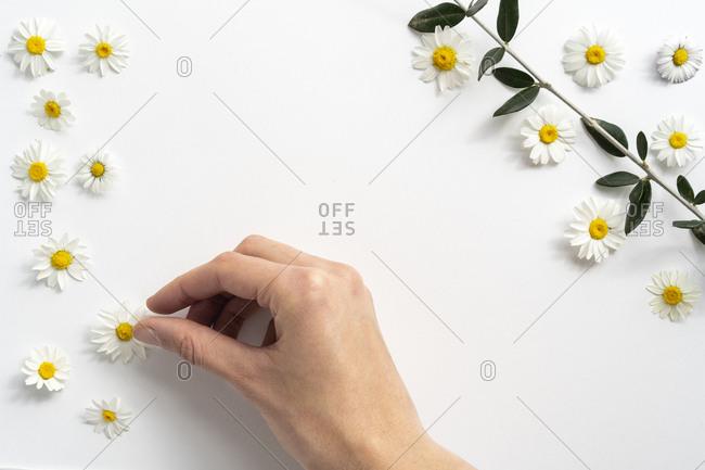 Flat lay arrangement of daisy flowers on plain background