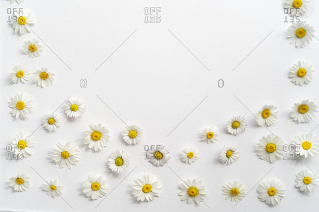 Flat lay arrangement of daisy flowers on plain background