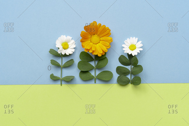 Flat lay arrangement of leaves and flowers on plain colors background