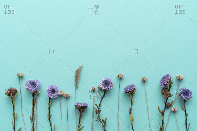 Flat lay arrangement of purple flowers on plain blue background