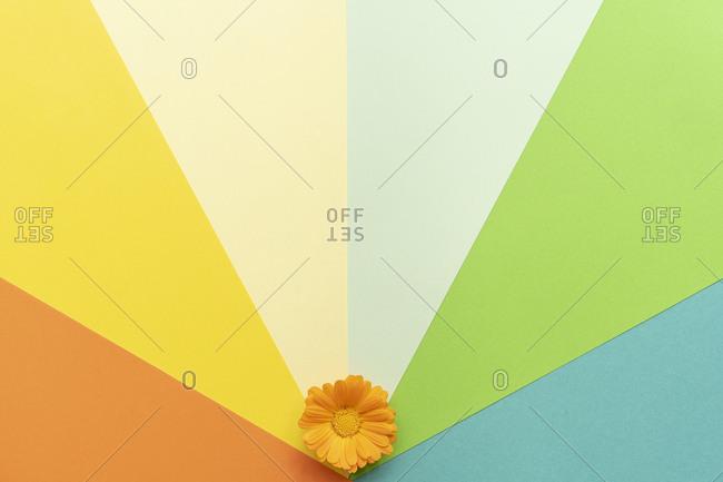 Flat lay arrangement of a calendula flower on colorful plain background