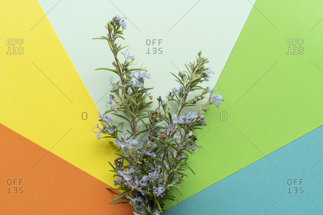 Flat lay arrangement of Rosemary on colorful plain background