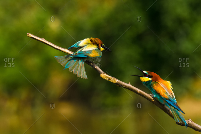 Bee eaters on the branch fight