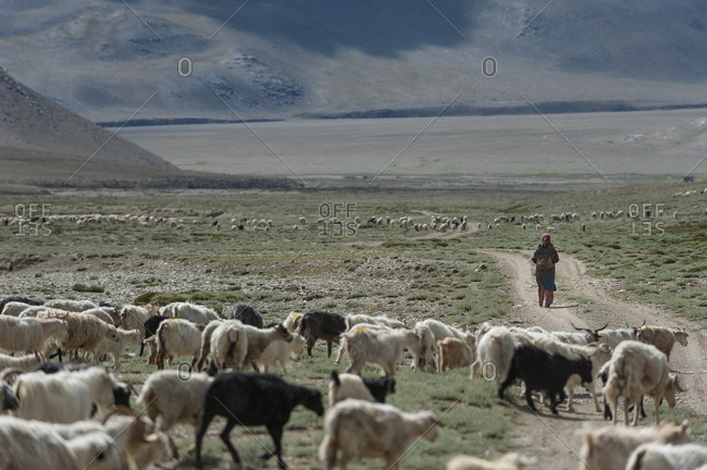 A nomad woman gathers her herd together in the morning to collect milk and brush them to extract wool in Ladakh in India