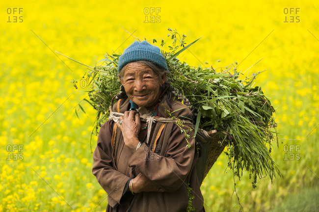 An old Ladakhi woman in a vibrant yellow mustard oil field carries fodder to feed to animals