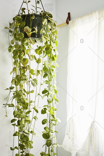 Los Angeles, California - November 21, 2018: Vine hanging plant by window