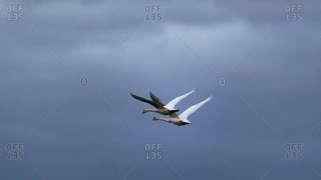 Two swans flying in cloudy sky