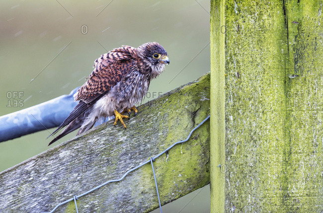 Profile of a young hawk perched on a mossy fence in the rain