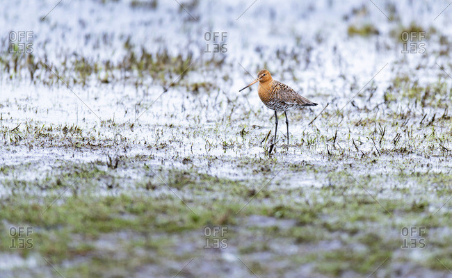 Red knot bird walking in a muddy field
