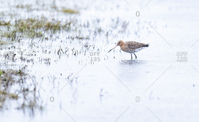 Red knot bird walking in the rain