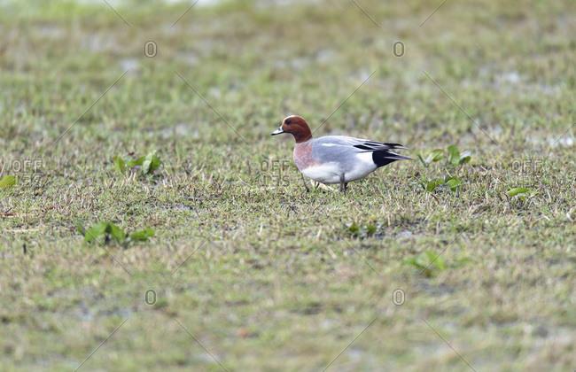 Redhead duck walking in a field