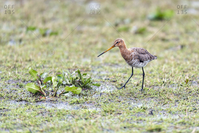 Red knot bird walking in a field in the rain