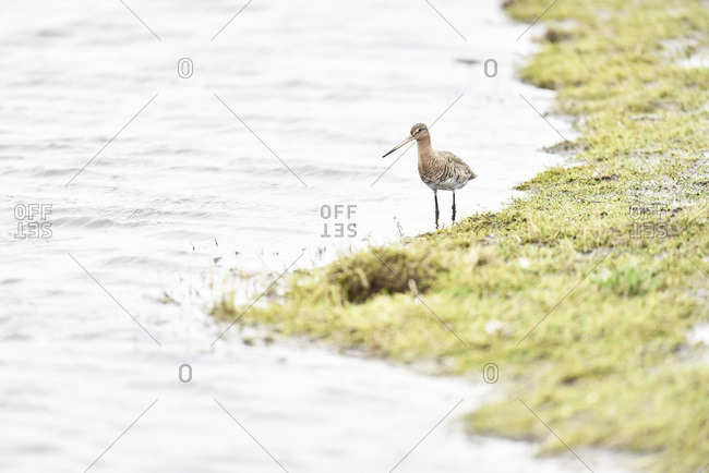 Red knot bird walking on the edge of a river