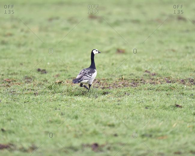 Barnacle goose walking in a field