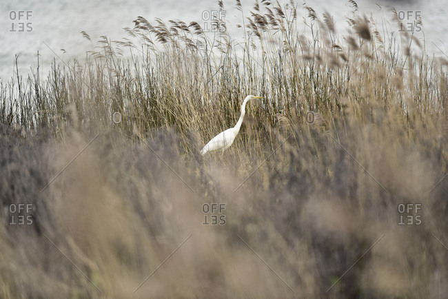 Great white heron walking in tall reeds by river