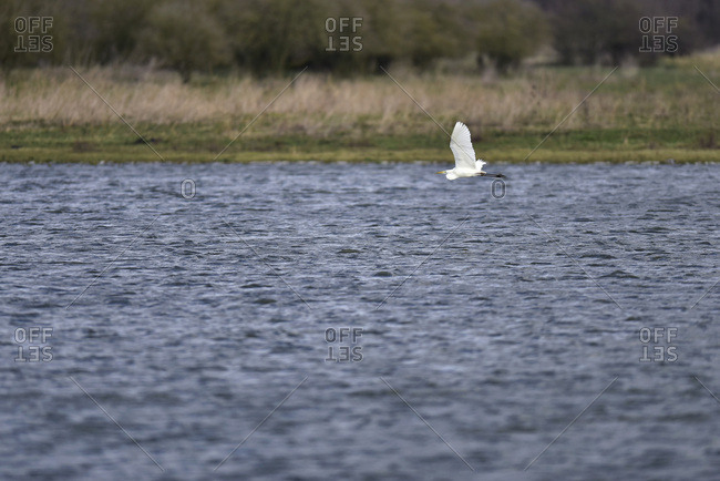 Great white heron flying over river
