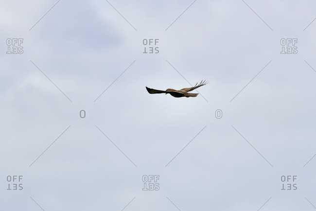 A single hawk flying in the cloudy sky