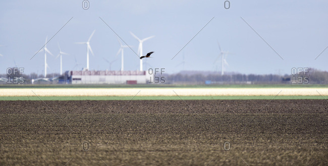 Hawk flying over field with wind turbines in the background