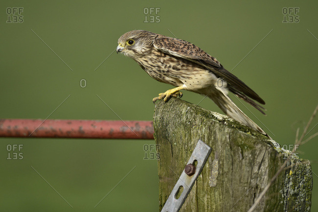 Young hawk perched on a fence post