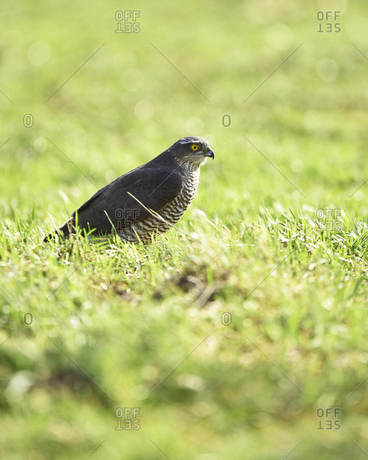 Hawk in a grassy field