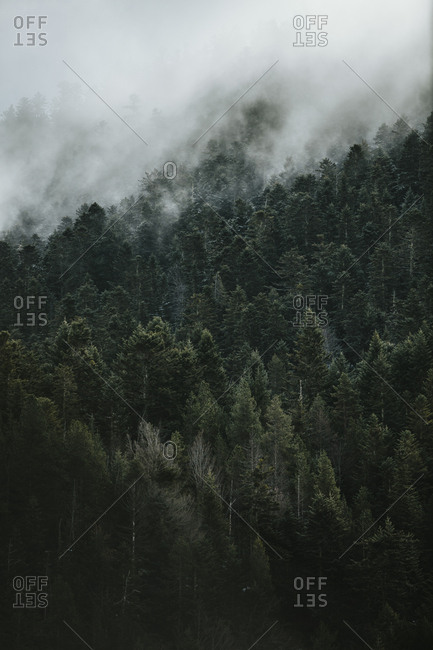 Dense fog covering trees in a forest in the Pyrenees