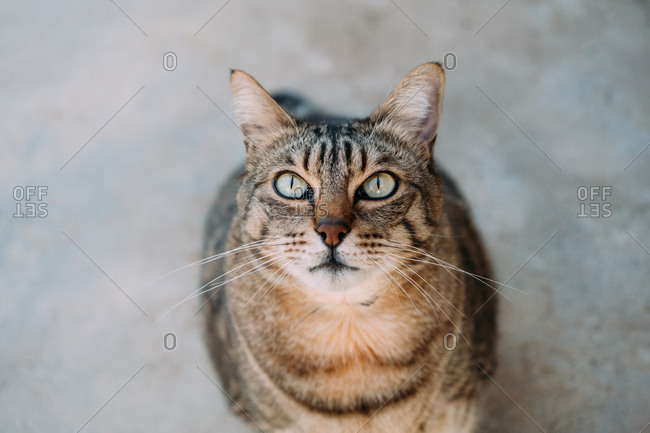 Cute tabby cat looking up in gray background