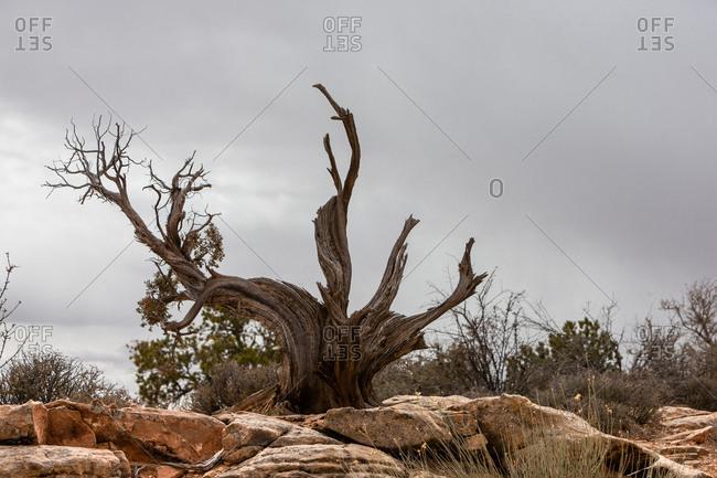 Dead trees in Canyonlands National Park in Utah